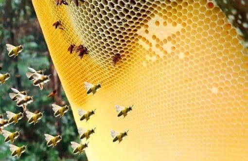 ngâm rượu mật ong rừng