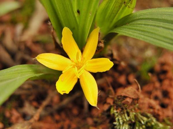 Sâm cau là cây thân thảo, sống lâu năm với hoa màu vàng