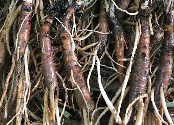 Rễ sâm cau đen có dược tính cao và tác dụng nhanh